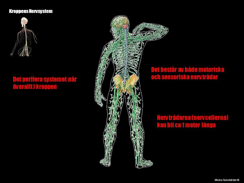 Det består av både motoriska och sensoriska nervtrådar