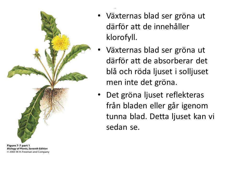 Växternas blad ser gröna ut därför att de innehåller klorofyll.