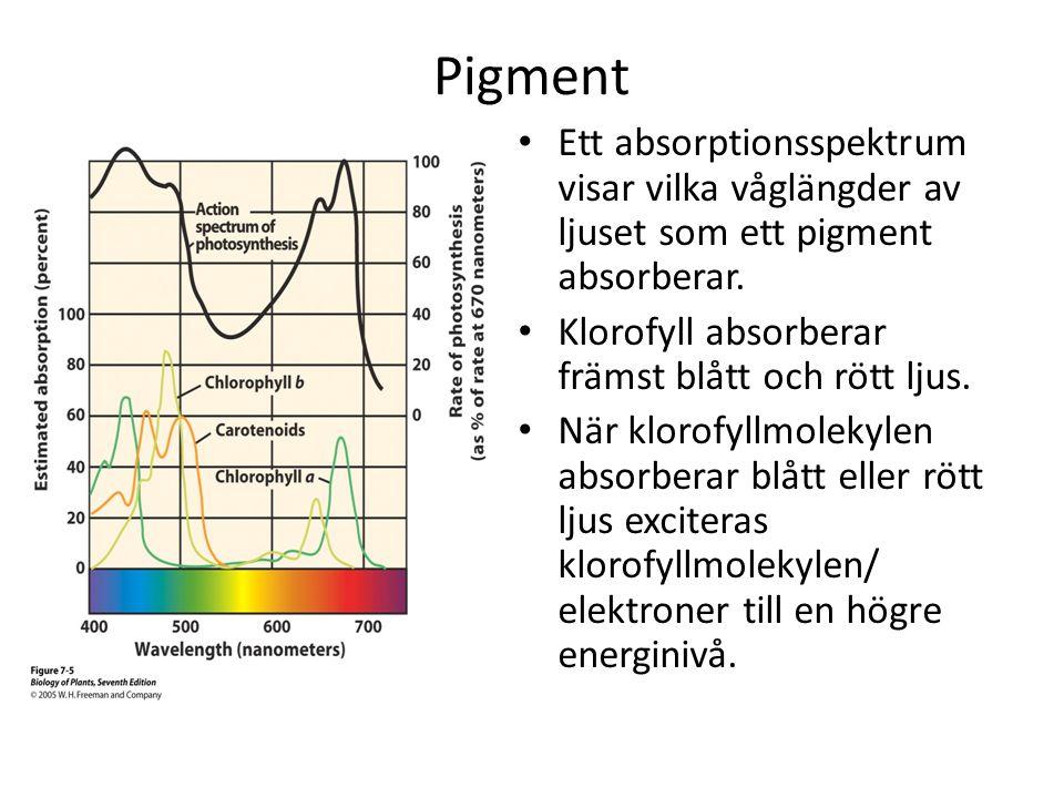 Pigment Ett absorptionsspektrum visar vilka våglängder av ljuset som ett pigment absorberar. Klorofyll absorberar främst blått och rött ljus.