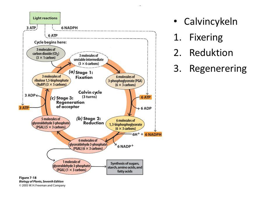 - Calvincykeln Fixering Reduktion Regenerering