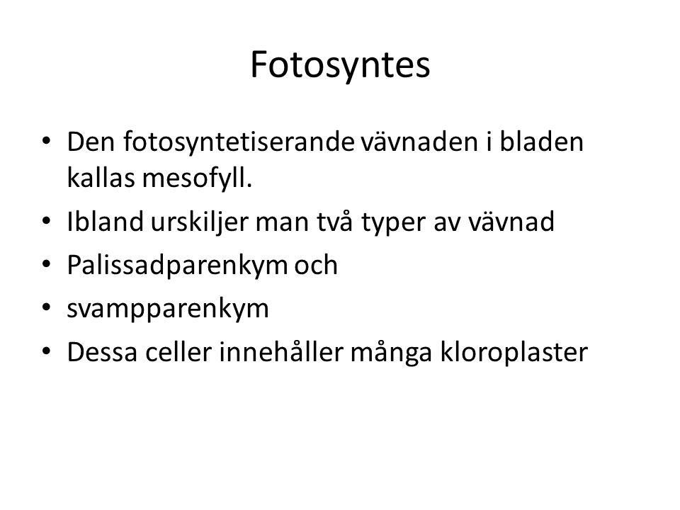 Fotosyntes Den fotosyntetiserande vävnaden i bladen kallas mesofyll.