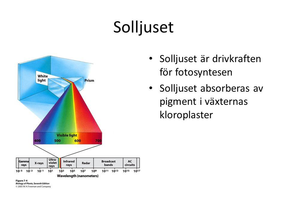 Solljuset Solljuset är drivkraften för fotosyntesen