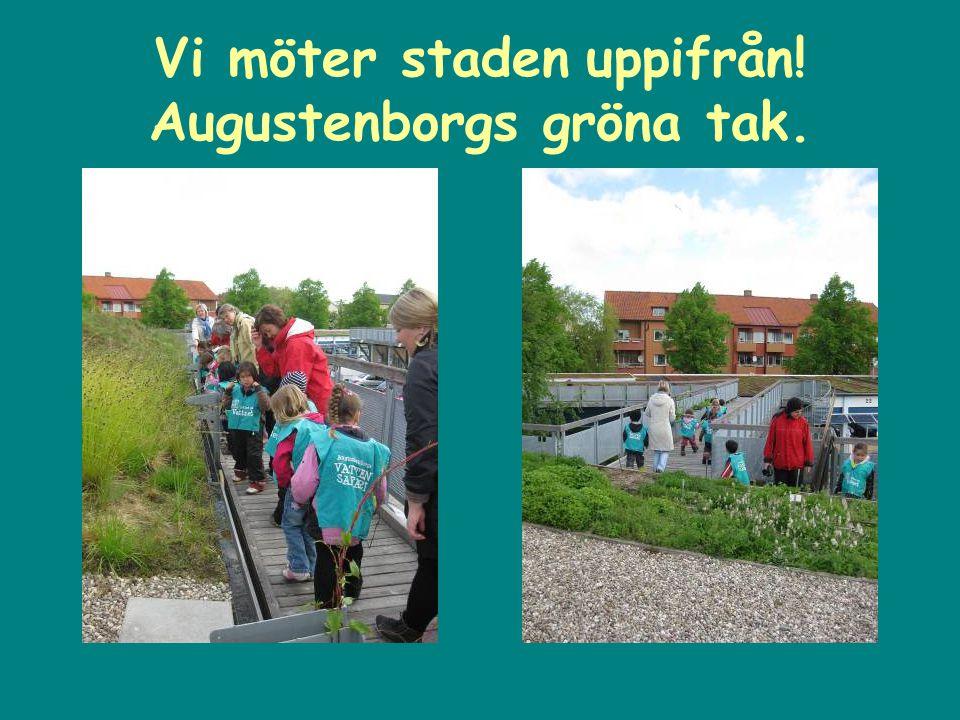 Vi möter staden uppifrån! Augustenborgs gröna tak.