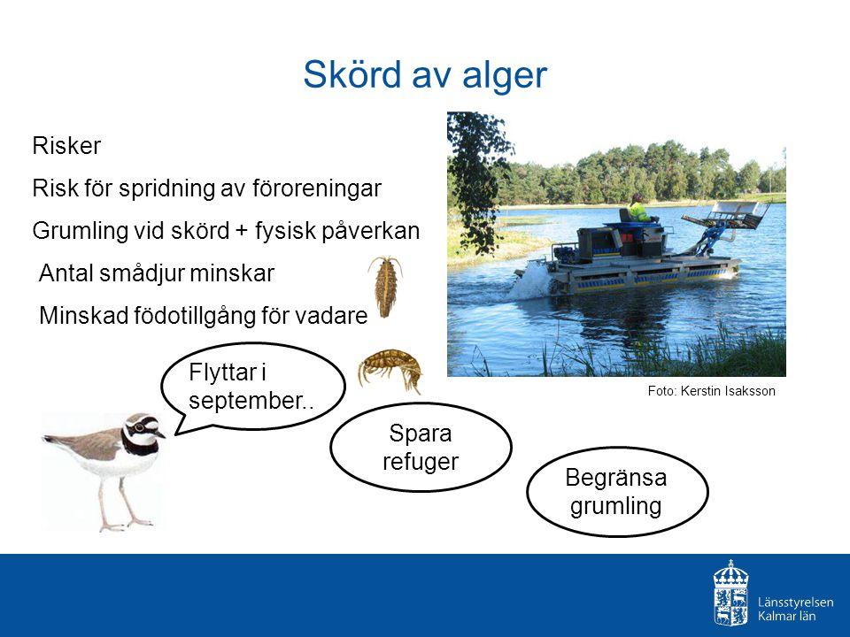 Skörd av alger Risker Risk för spridning av föroreningar