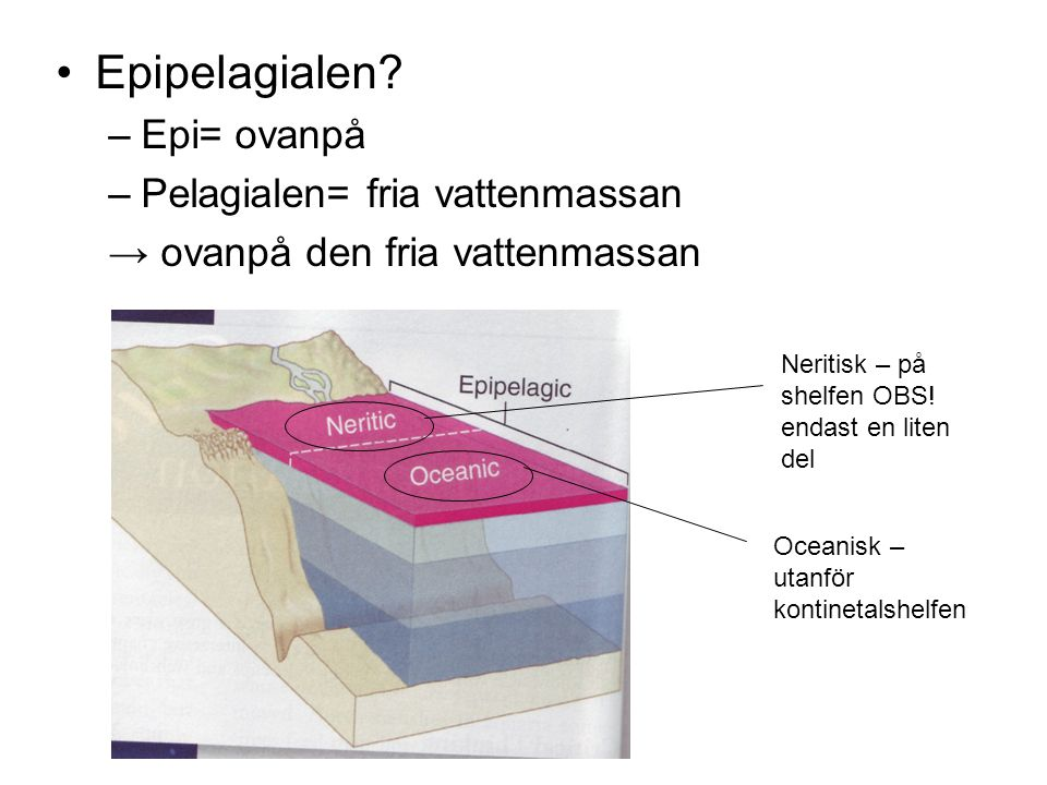 Epipelagialen Epi= ovanpå Pelagialen= fria vattenmassan