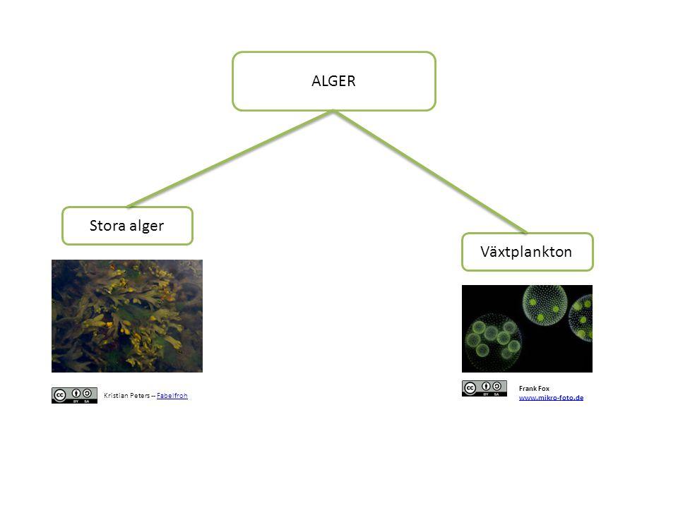 ALGER Stora alger Växtplankton Frank Fox www.mikro-foto.de