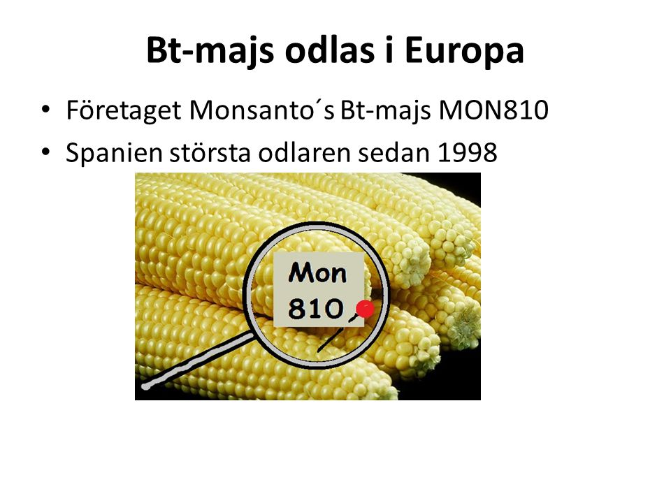 Bt-majs odlas i Europa Företaget Monsanto´s Bt-majs MON810