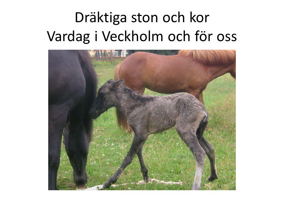 Dräktiga ston och kor Vardag i Veckholm och för oss