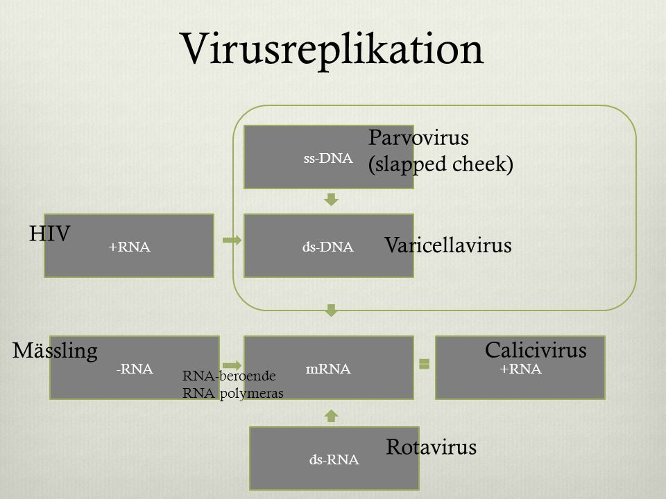 Virusreplikation Parvovirus (slapped cheek) HIV Varicellavirus
