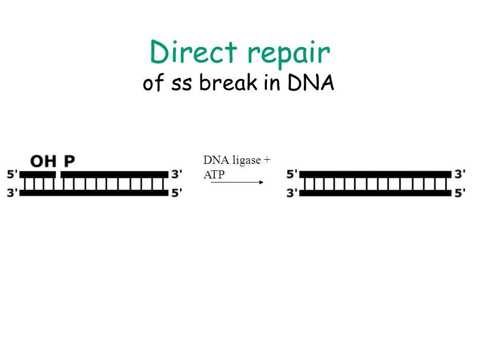 Direct repair of ss break in DNA