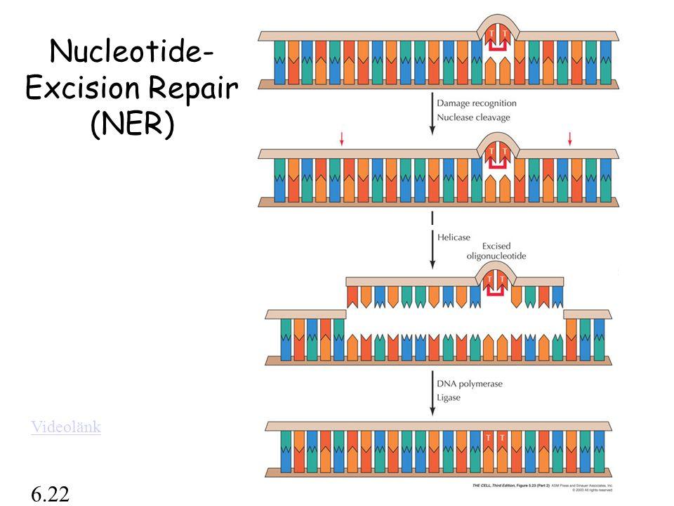 Nucleotide-Excision Repair (NER)