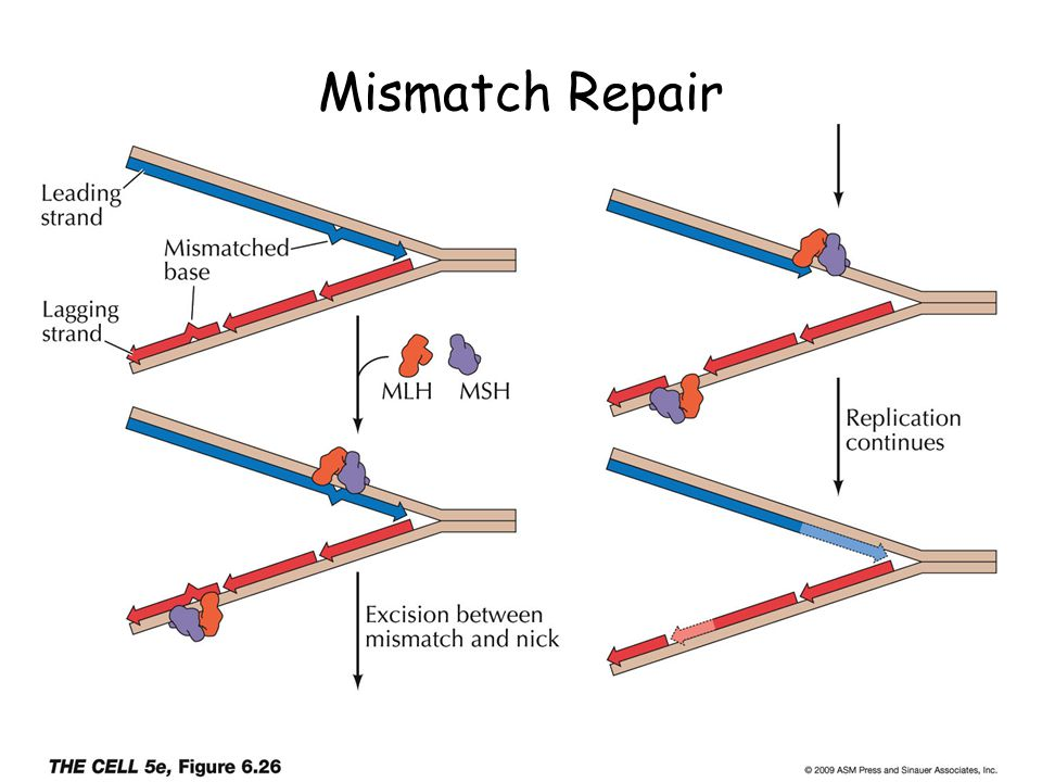 Mismatch Repair