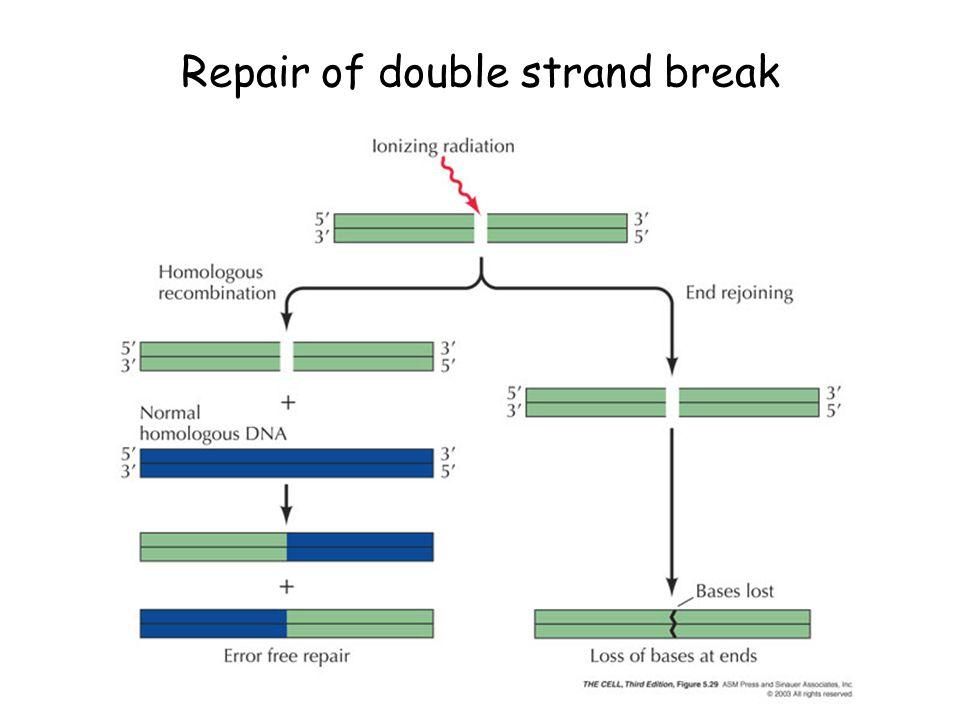 Repair of double strand break