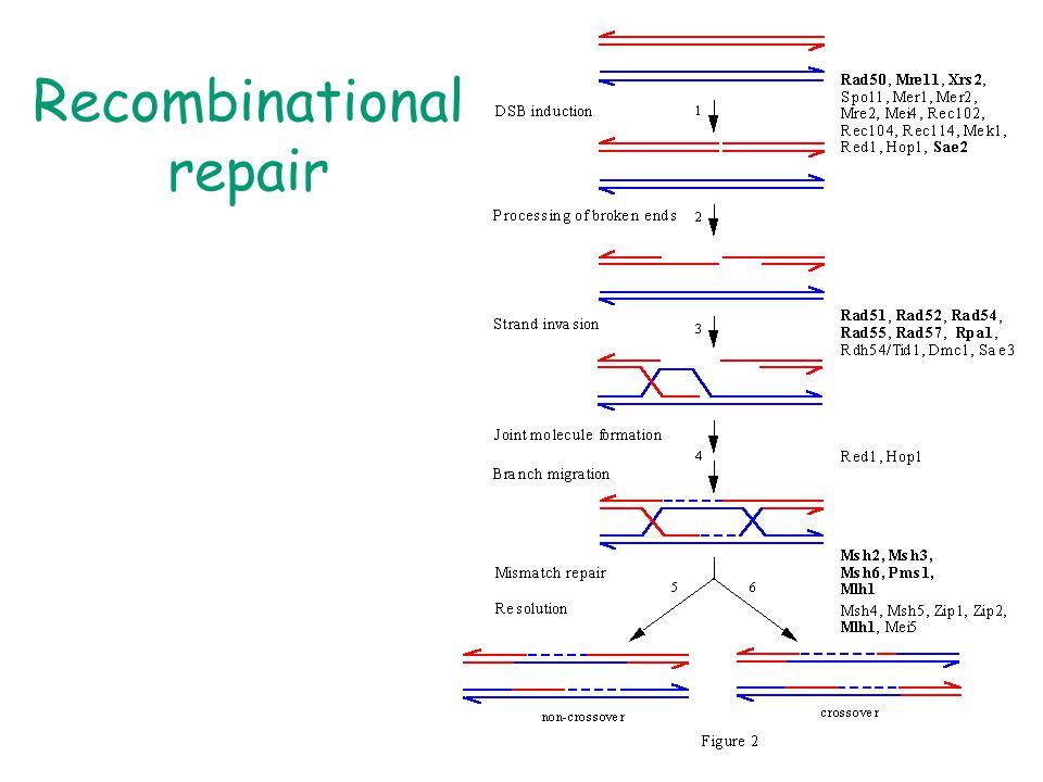 Recombinational repair
