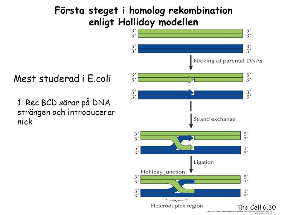 Första steget i homolog rekombination enligt Holliday modellen
