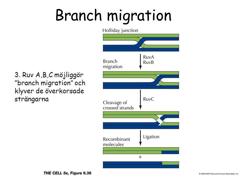 Branch migration 3. Ruv A,B,C möjliggör branch migration och klyver de överkorsade strängarna
