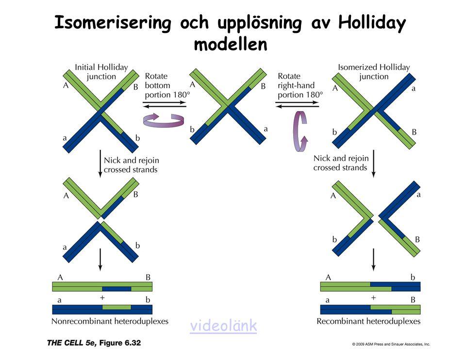 Isomerisering och upplösning av Holliday modellen