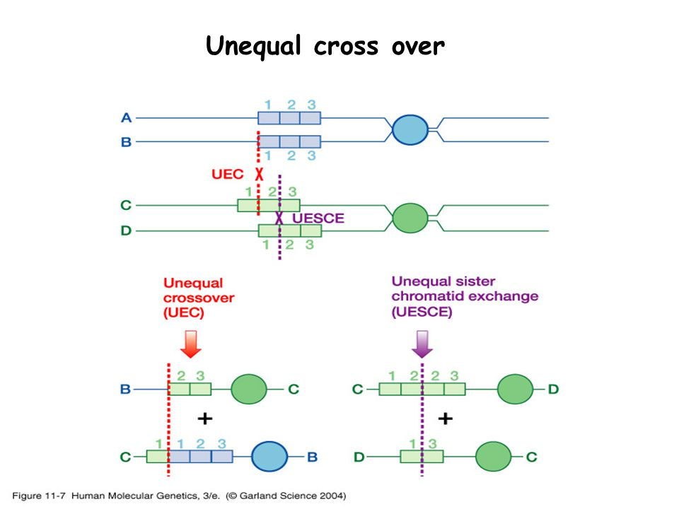 Unequal cross over