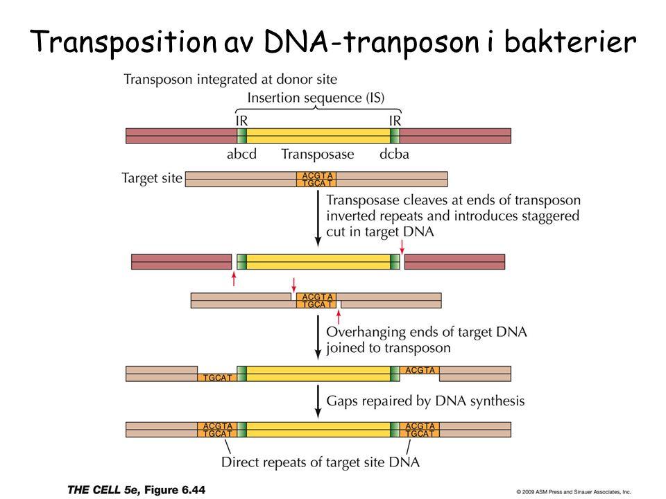 Transposition av DNA-tranposon i bakterier