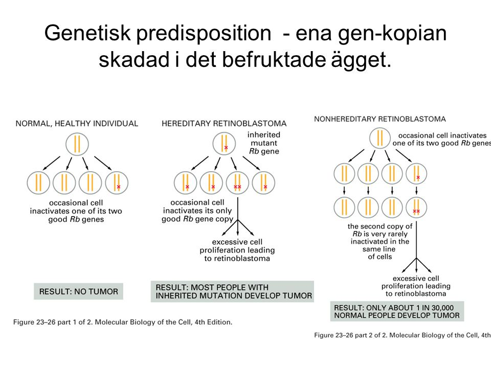 Genetisk predisposition - ena gen-kopian skadad i det befruktade ägget.