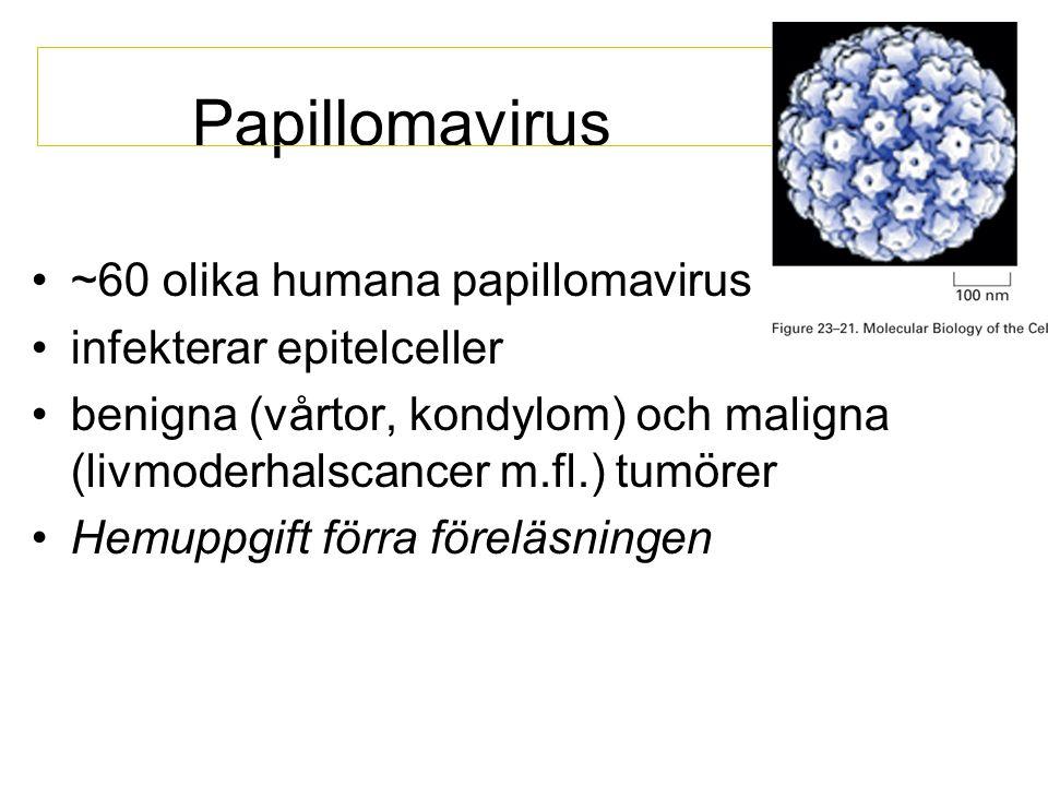 Papillomavirus ~60 olika humana papillomavirus infekterar epitelceller