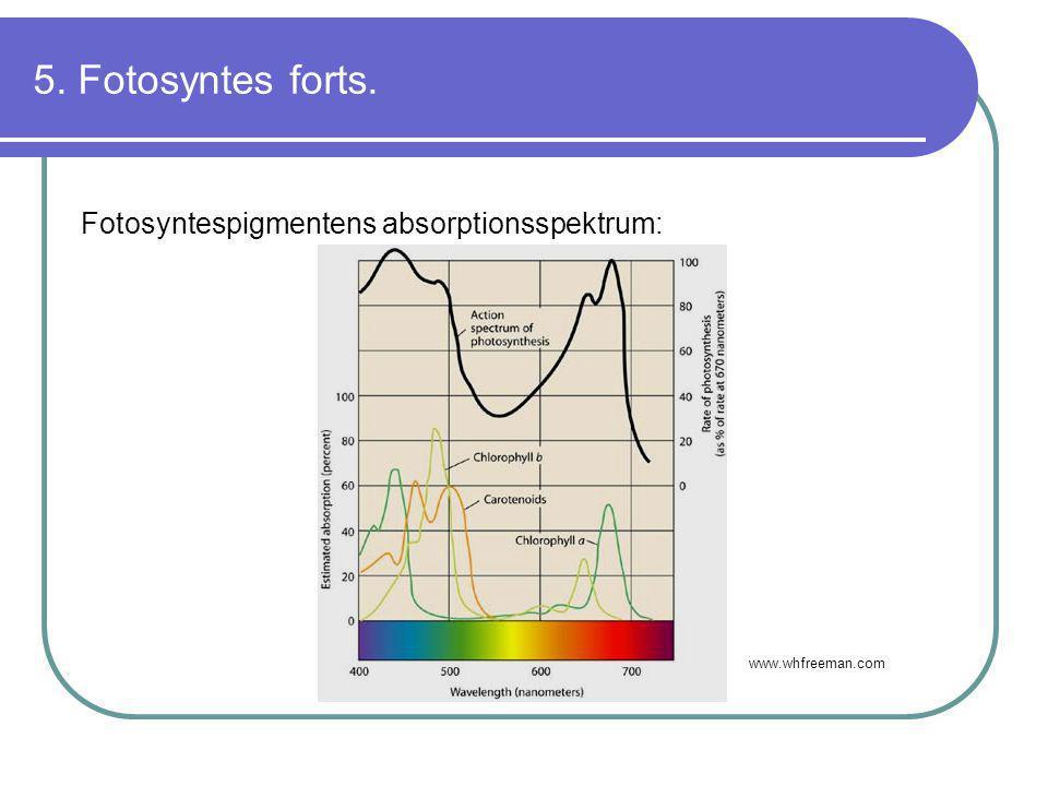 5. Fotosyntes forts. Fotosyntespigmentens absorptionsspektrum: