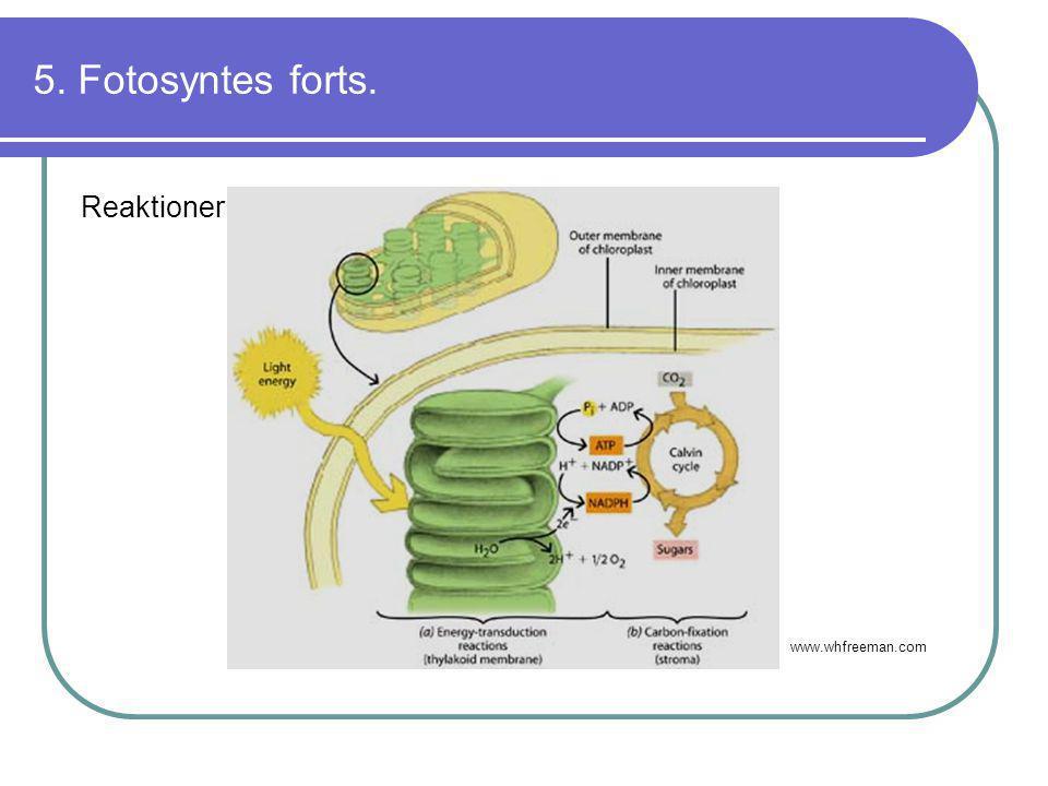 5. Fotosyntes forts. Reaktioner: www.whfreeman.com