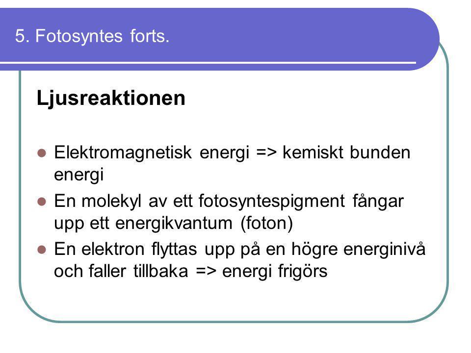 Ljusreaktionen 5. Fotosyntes forts.