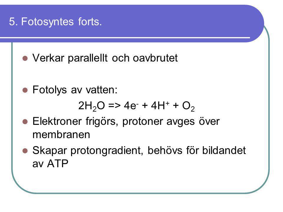5. Fotosyntes forts. Verkar parallellt och oavbrutet. Fotolys av vatten: 2H2O => 4e- + 4H+ + O2. Elektroner frigörs, protoner avges över membranen.