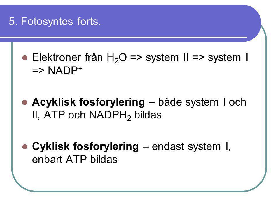 5. Fotosyntes forts. Elektroner från H2O => system II => system I => NADP+ Acyklisk fosforylering – både system I och II, ATP och NADPH2 bildas.