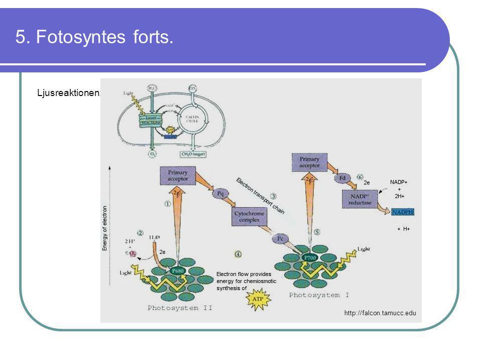 5. Fotosyntes forts. Ljusreaktionen: http://falcon.tamucc.edu