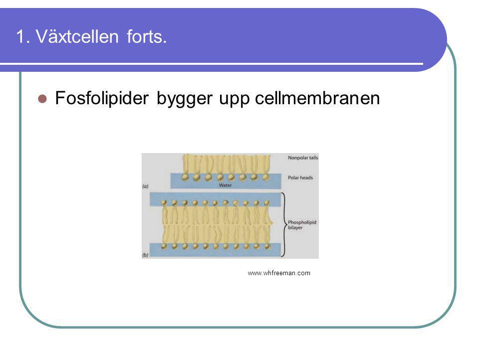 Fosfolipider bygger upp cellmembranen