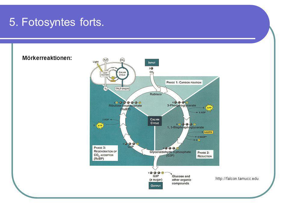 5. Fotosyntes forts. Mörkerreaktionen: http://falcon.tamucc.edu