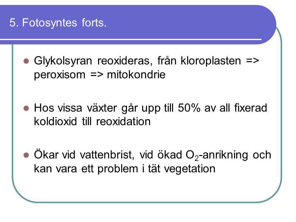 5. Fotosyntes forts. Glykolsyran reoxideras, från kloroplasten => peroxisom => mitokondrie.