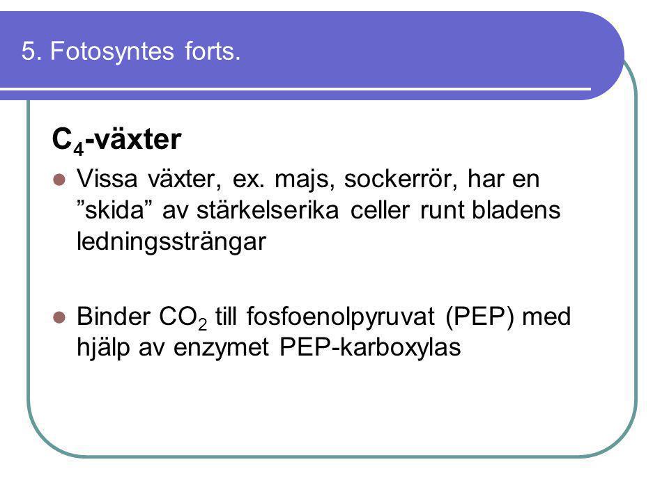 C4-växter 5. Fotosyntes forts.
