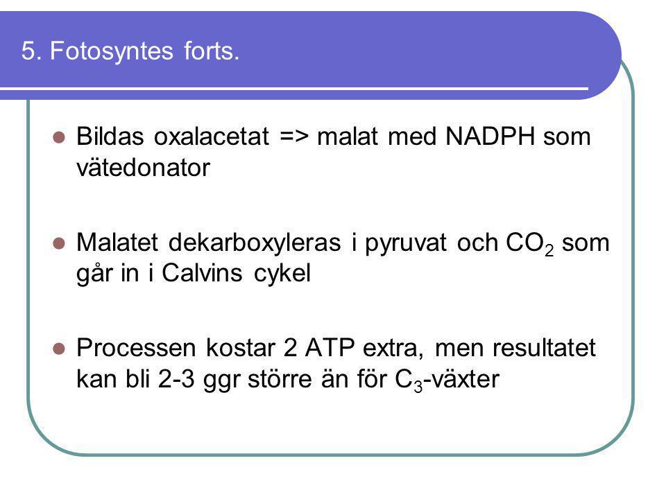 5. Fotosyntes forts. Bildas oxalacetat => malat med NADPH som vätedonator. Malatet dekarboxyleras i pyruvat och CO2 som går in i Calvins cykel.
