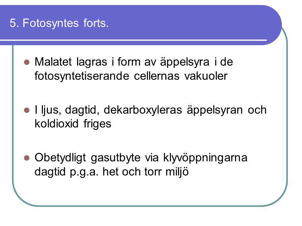 5. Fotosyntes forts. Malatet lagras i form av äppelsyra i de fotosyntetiserande cellernas vakuoler.