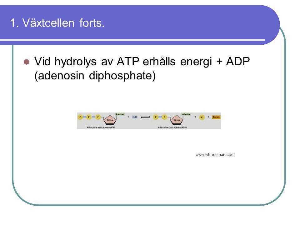 Vid hydrolys av ATP erhålls energi + ADP (adenosin diphosphate)