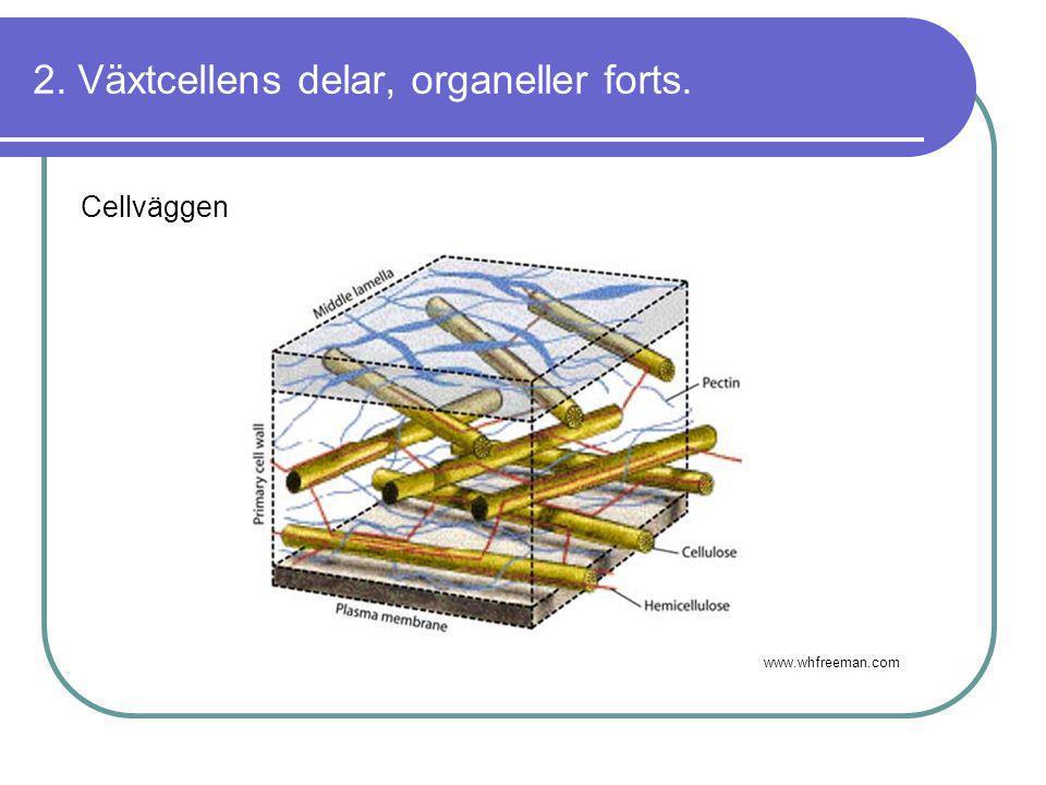 2. Växtcellens delar, organeller forts.