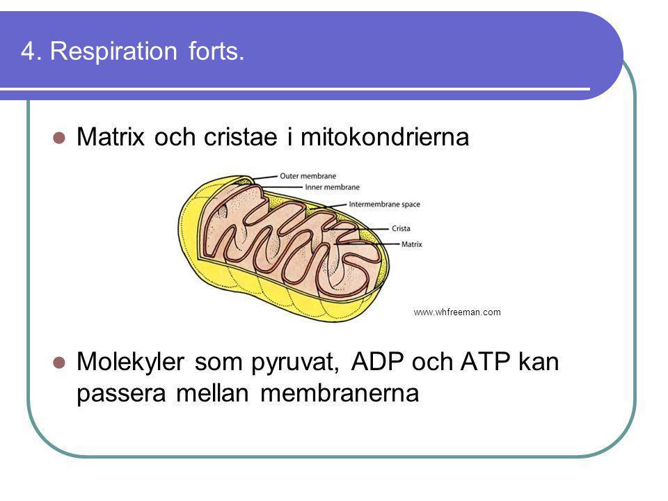 Matrix och cristae i mitokondrierna