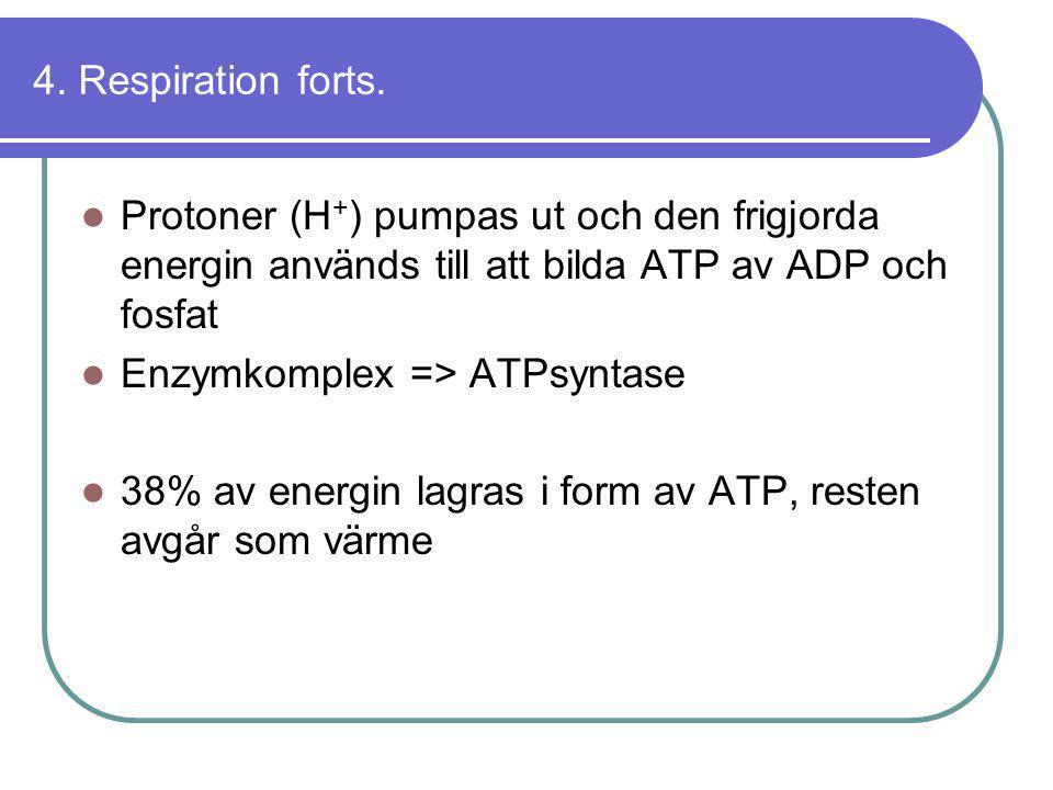 4. Respiration forts. Protoner (H+) pumpas ut och den frigjorda energin används till att bilda ATP av ADP och fosfat.