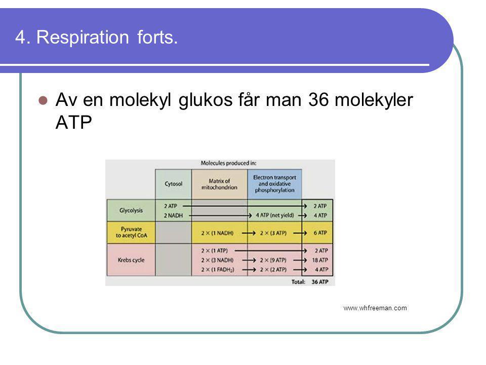 Av en molekyl glukos får man 36 molekyler ATP