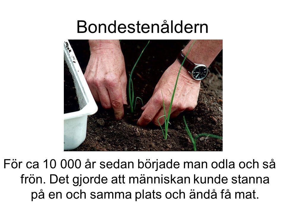 Bondestenåldern För ca 10 000 år sedan började man odla och så frön.