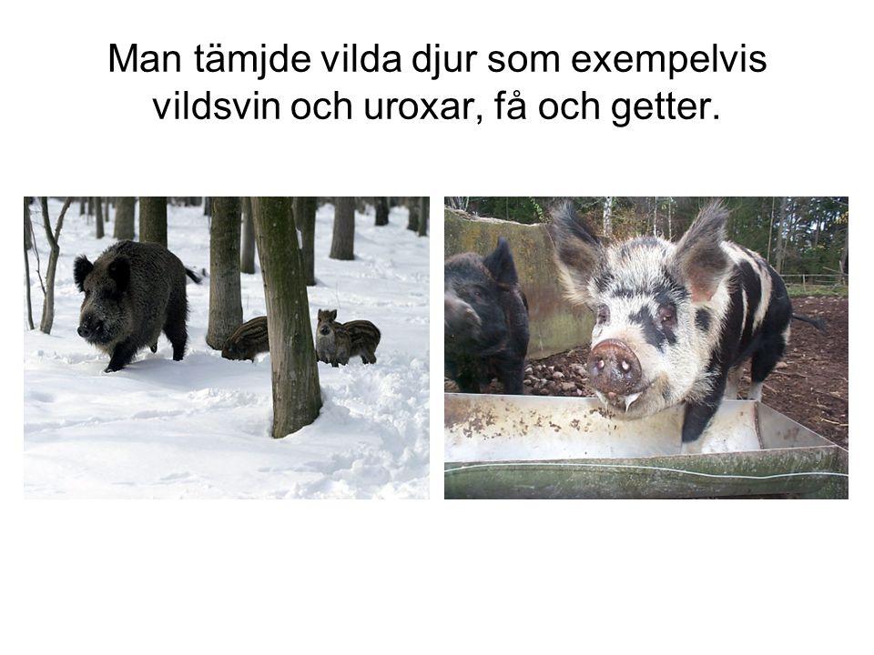 Man tämjde vilda djur som exempelvis vildsvin och uroxar, få och getter.