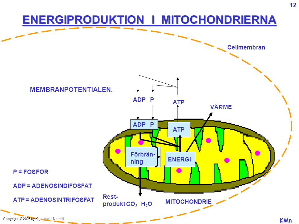 ENERGIPRODUKTION I MITOCHONDRIERNA