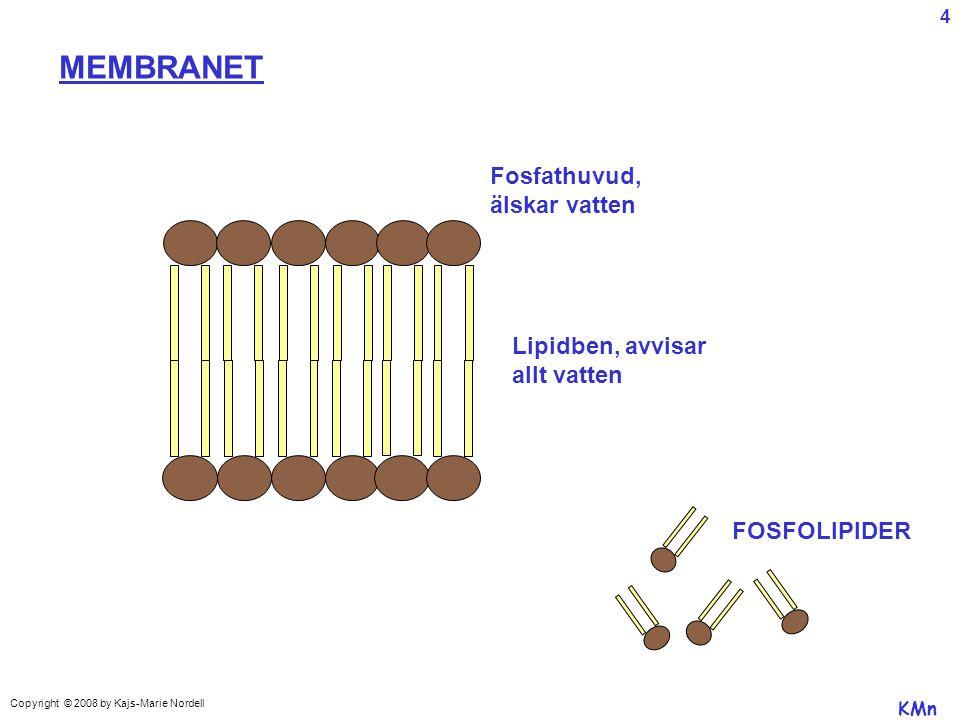 MEMBRANET Fosfathuvud, älskar vatten Lipidben, avvisar allt vatten