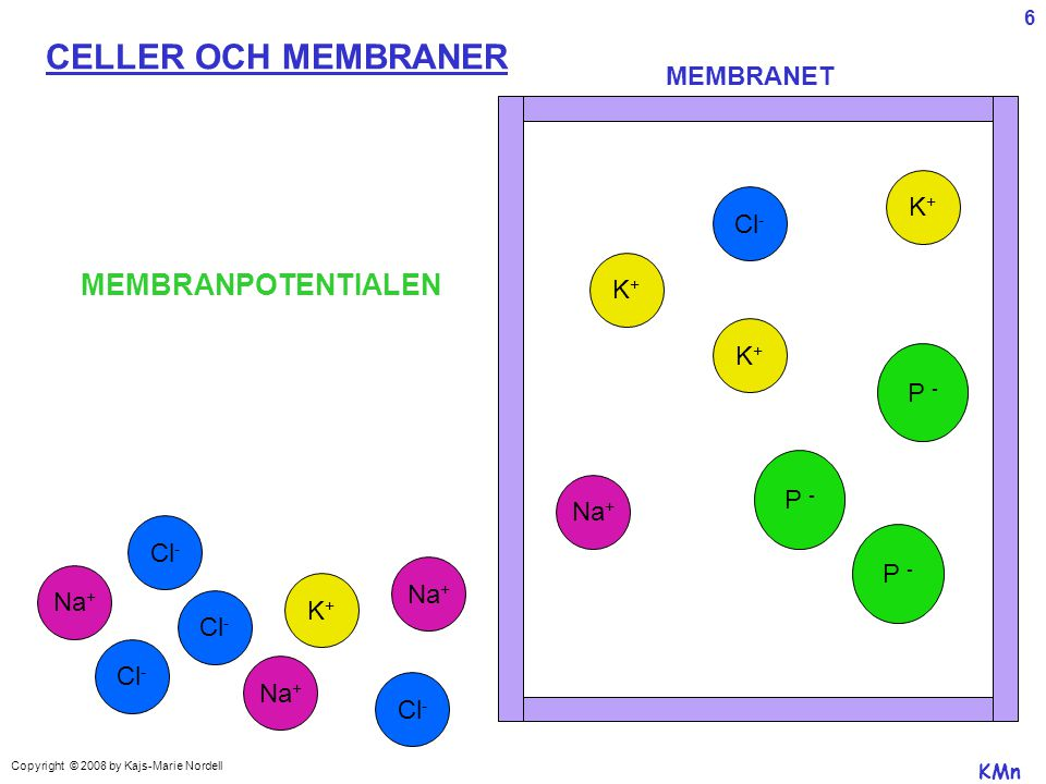 CELLER OCH MEMBRANER MEMBRANPOTENTIALEN MEMBRANET K+ Cl- K+ K+ P - P -