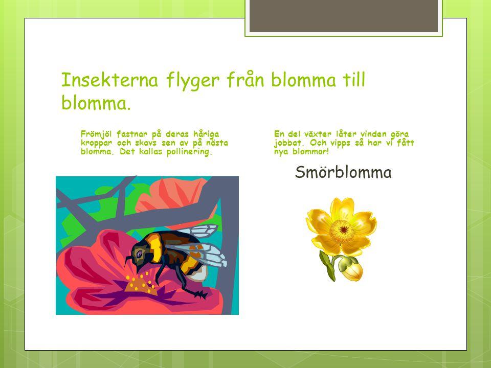 Insekterna flyger från blomma till blomma.