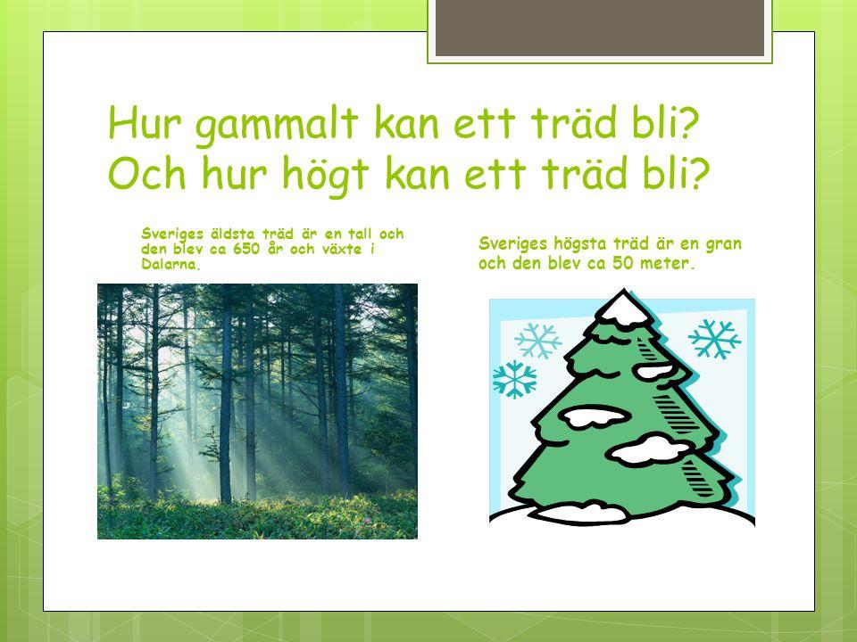 Hur gammalt kan ett träd bli Och hur högt kan ett träd bli