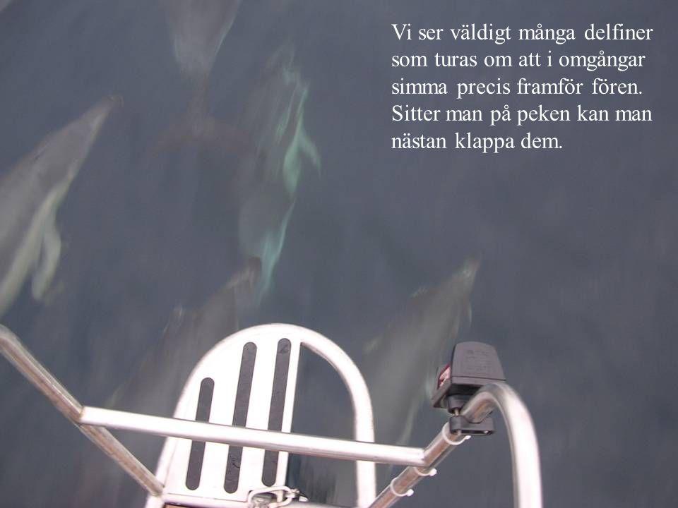 Vi ser väldigt många delfiner som turas om att i omgångar simma precis framför fören.